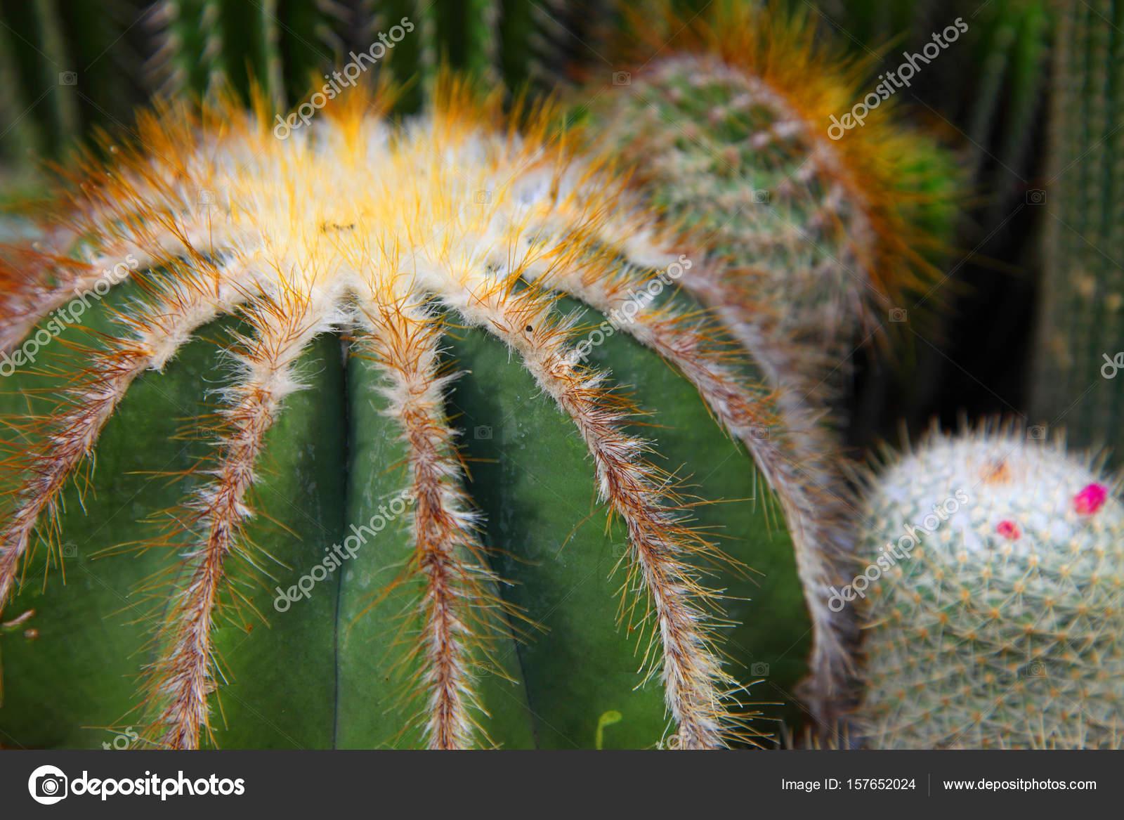 Cactus seco con agujas Fotos de Stock topphoto 157652024