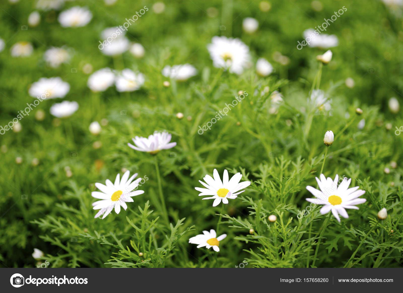 Beautiful daisy flowers stock photo topphoto 157658260 beautiful daisy flowers close up photo by topphoto izmirmasajfo
