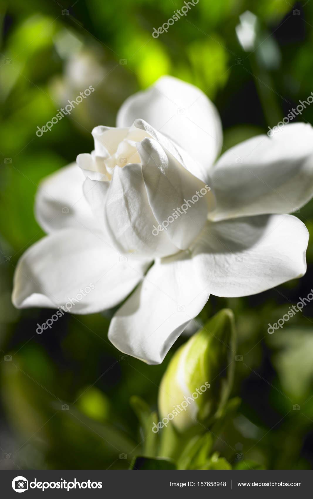 White Gardenia Flower Stock Photo Topphoto 157658948
