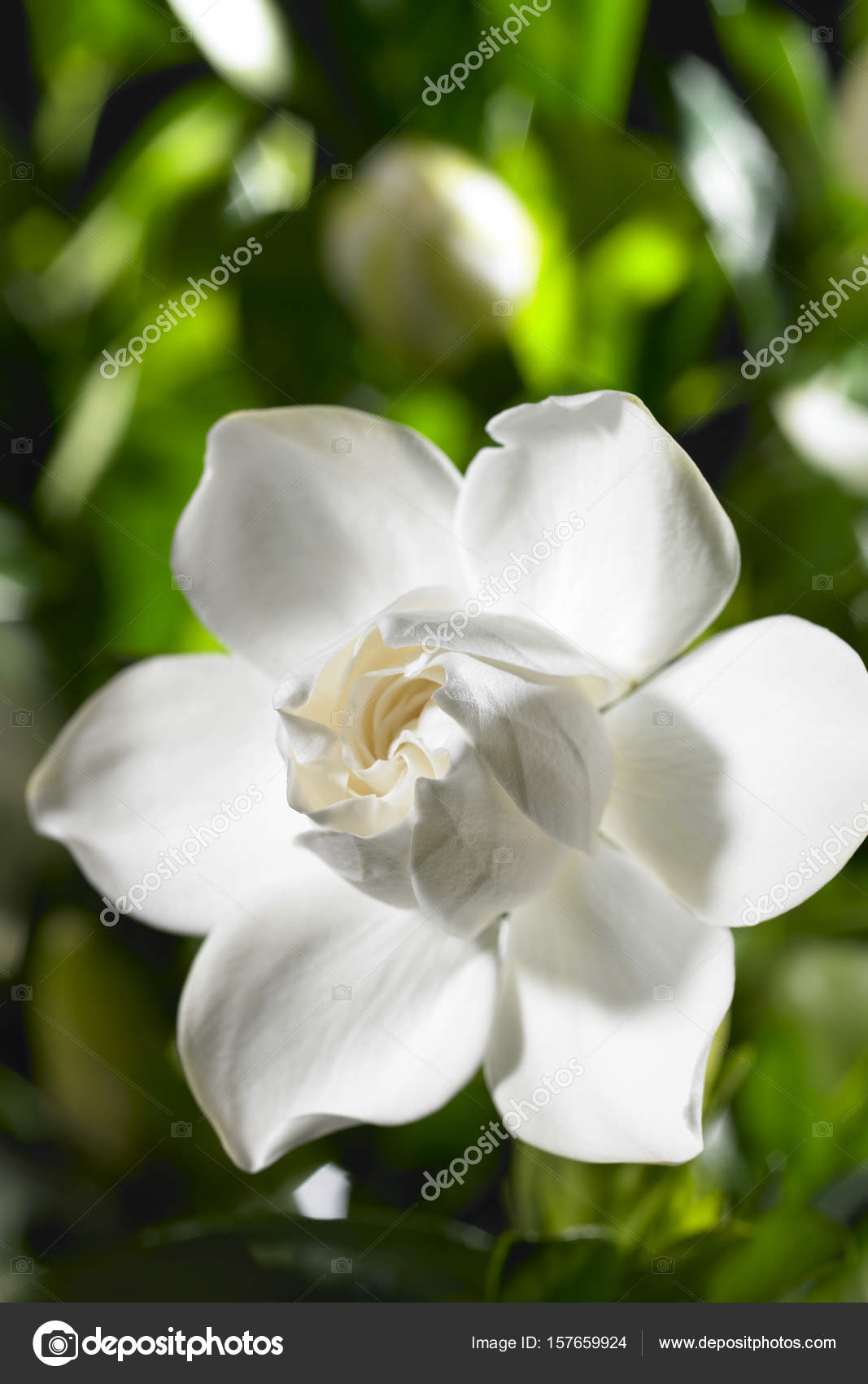 White Gardenia Flower Stock Photo Topphoto 157659924