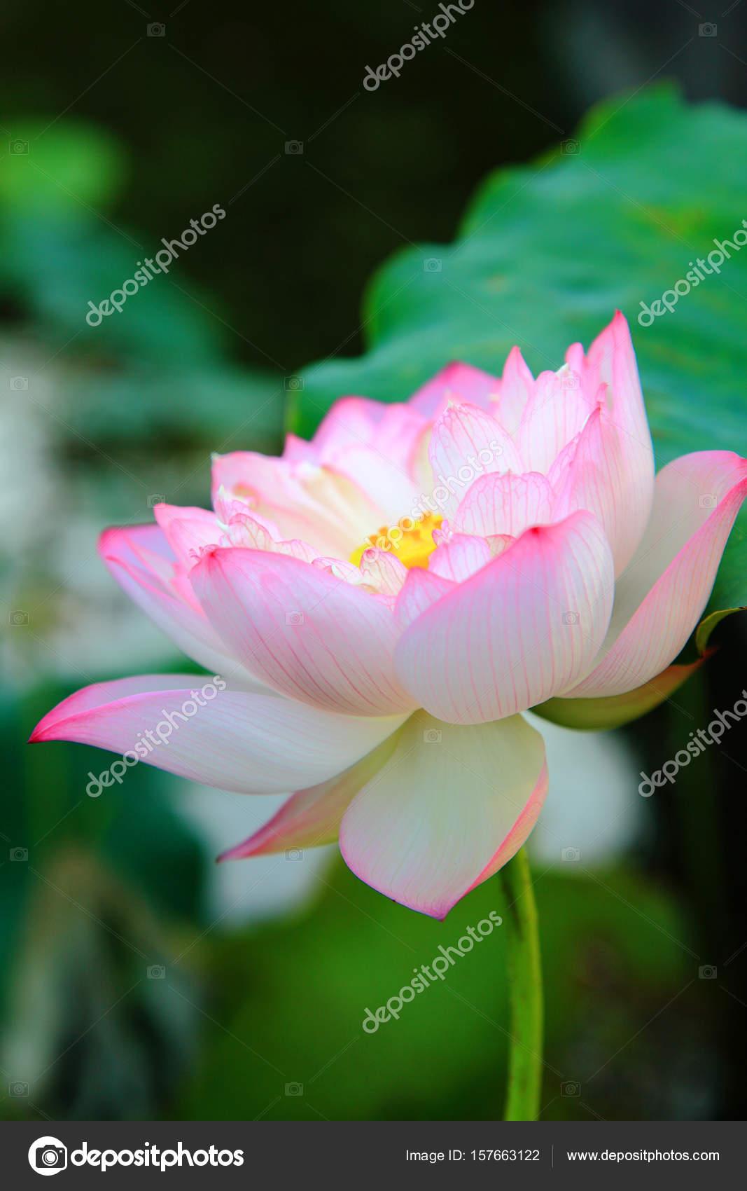 Beautiful Lotus Flower Stock Photo Topphoto 157663122