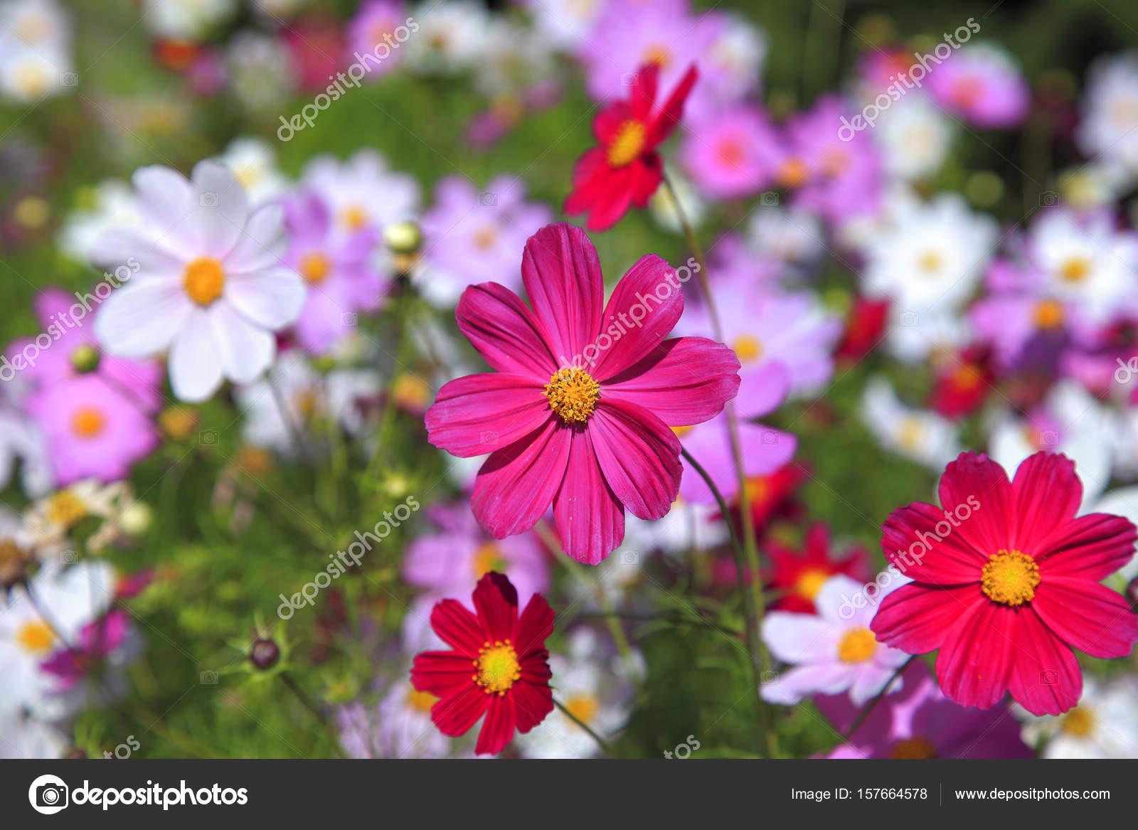 Beautiful daisy flowers stock photo topphoto 157664578 beautiful daisy flowers close up photo by topphoto izmirmasajfo