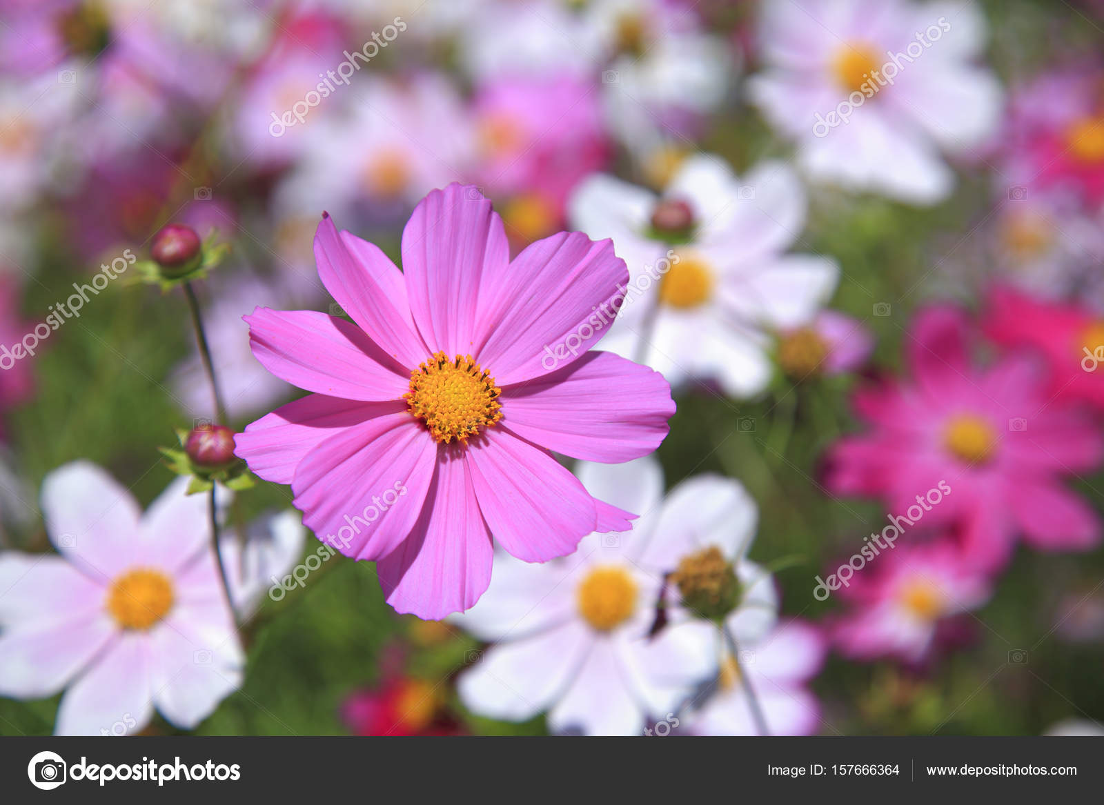 Beautiful daisy flowers stock photo topphoto 157666364 beautiful daisy flowers close up photo by topphoto izmirmasajfo Choice Image