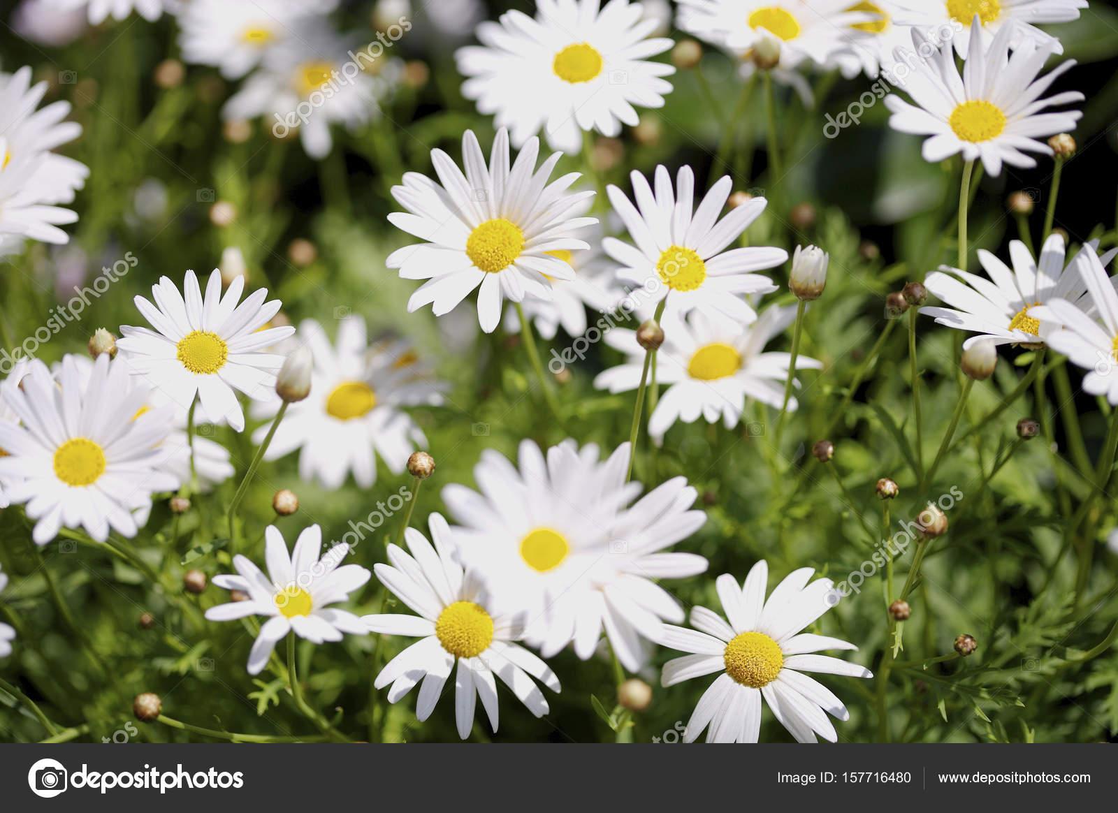Beautiful daisy flowers stock photo topphoto 157716480 beautiful daisy flowers close up photo by topphoto izmirmasajfo