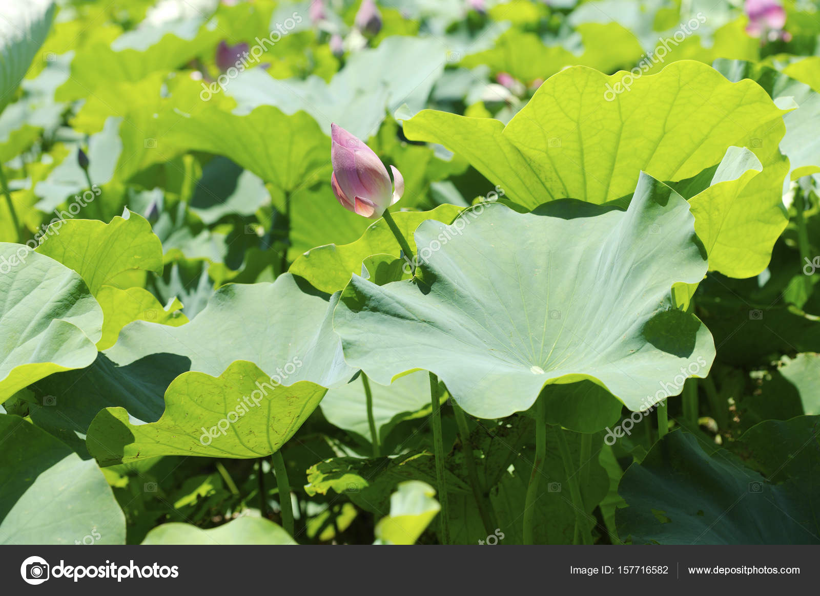 Beautiful of lotus flowers stock photo topphoto 157716582 beautiful of lotus flowers stock photo izmirmasajfo