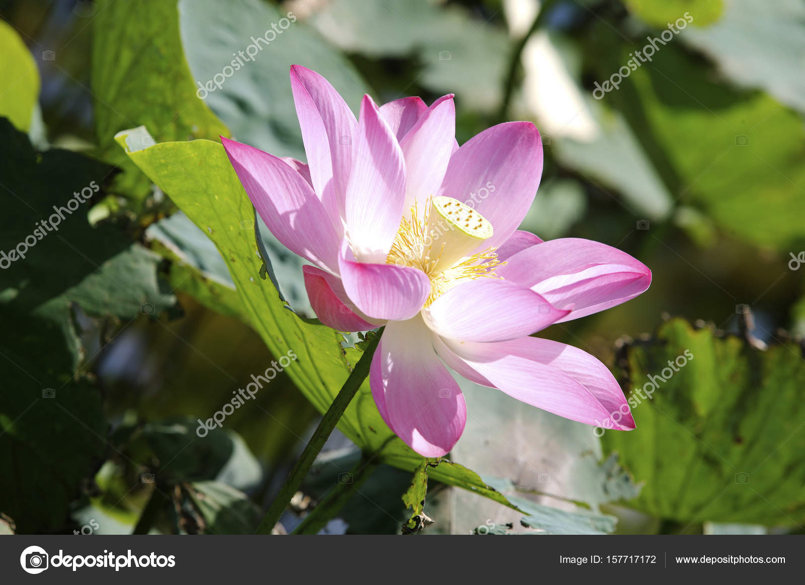 Beautiful Lotus Flower Stock Photo Topphoto 157717172