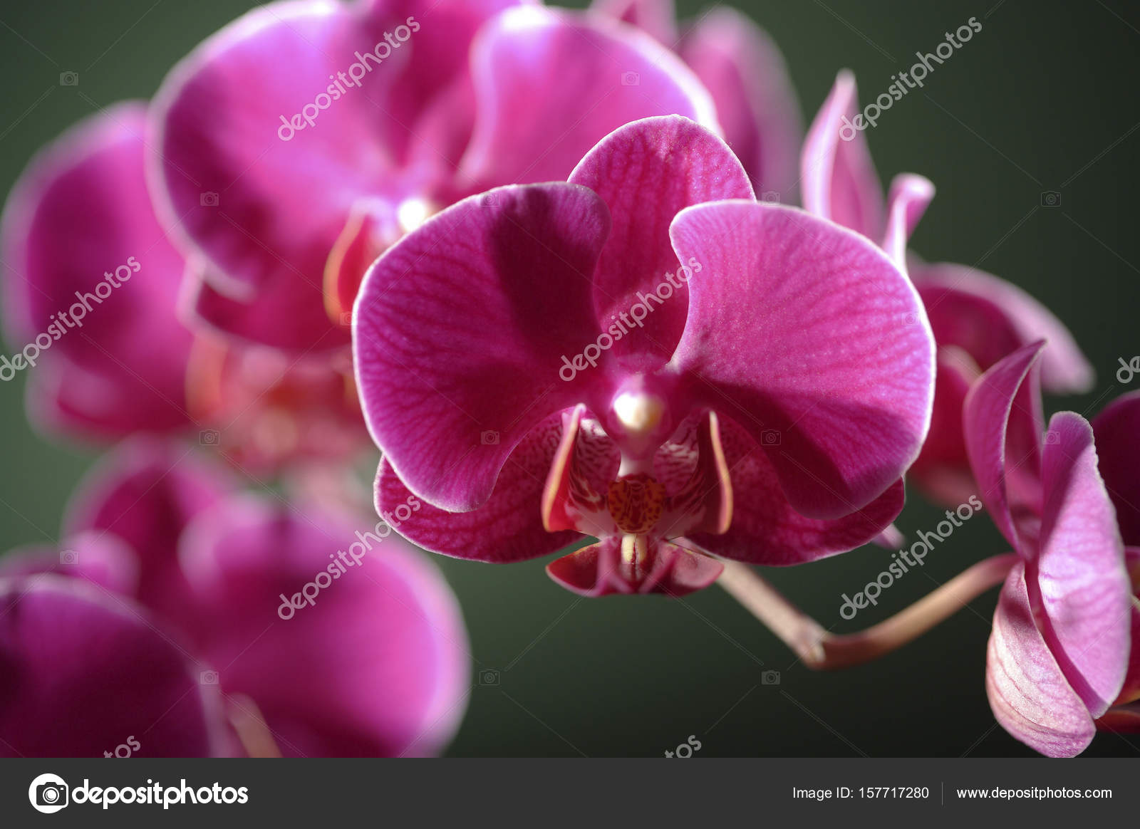 Beautiful orchid flowers stock photo topphoto 157717280 beautiful orchid flowers stock photo izmirmasajfo
