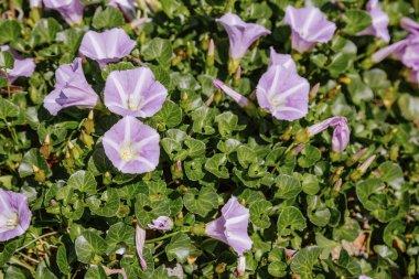 Blooming purple flowers closeup