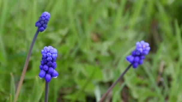 Krásné rozkvetlé modré a fialové květiny zvané muskari v zahradě na jaře