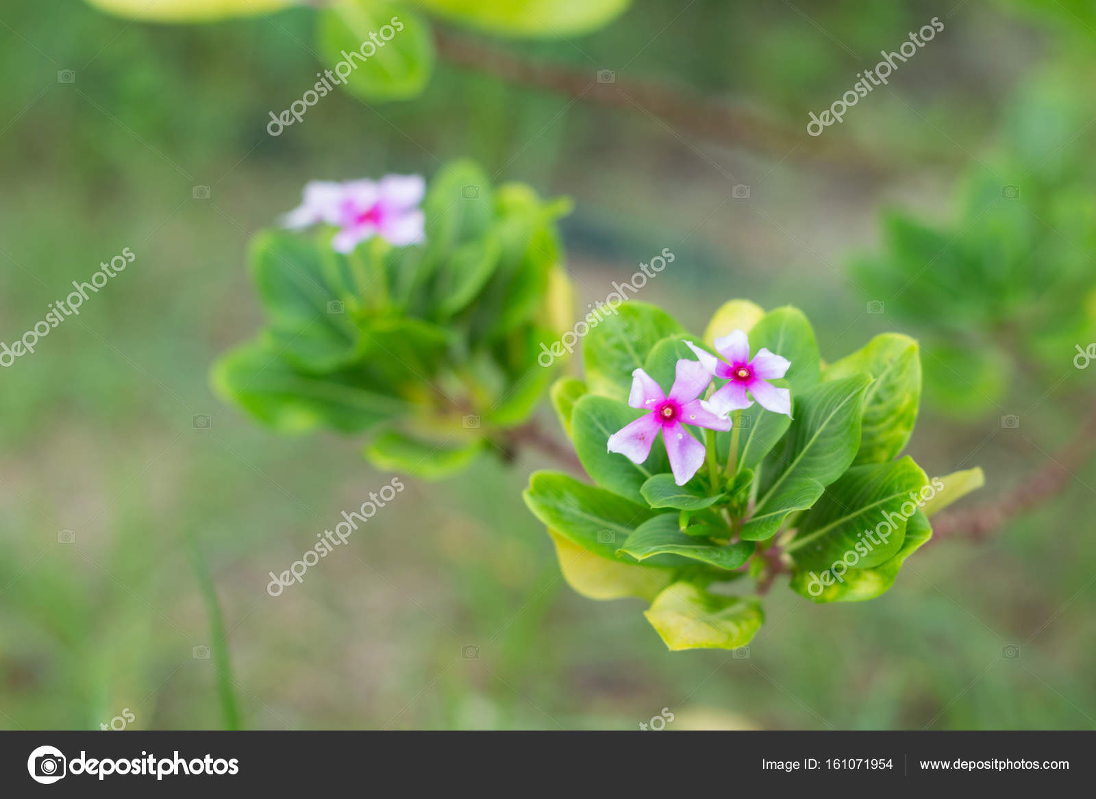 Little Pink Flowers In The Morning Time Stock Photo Akkalak