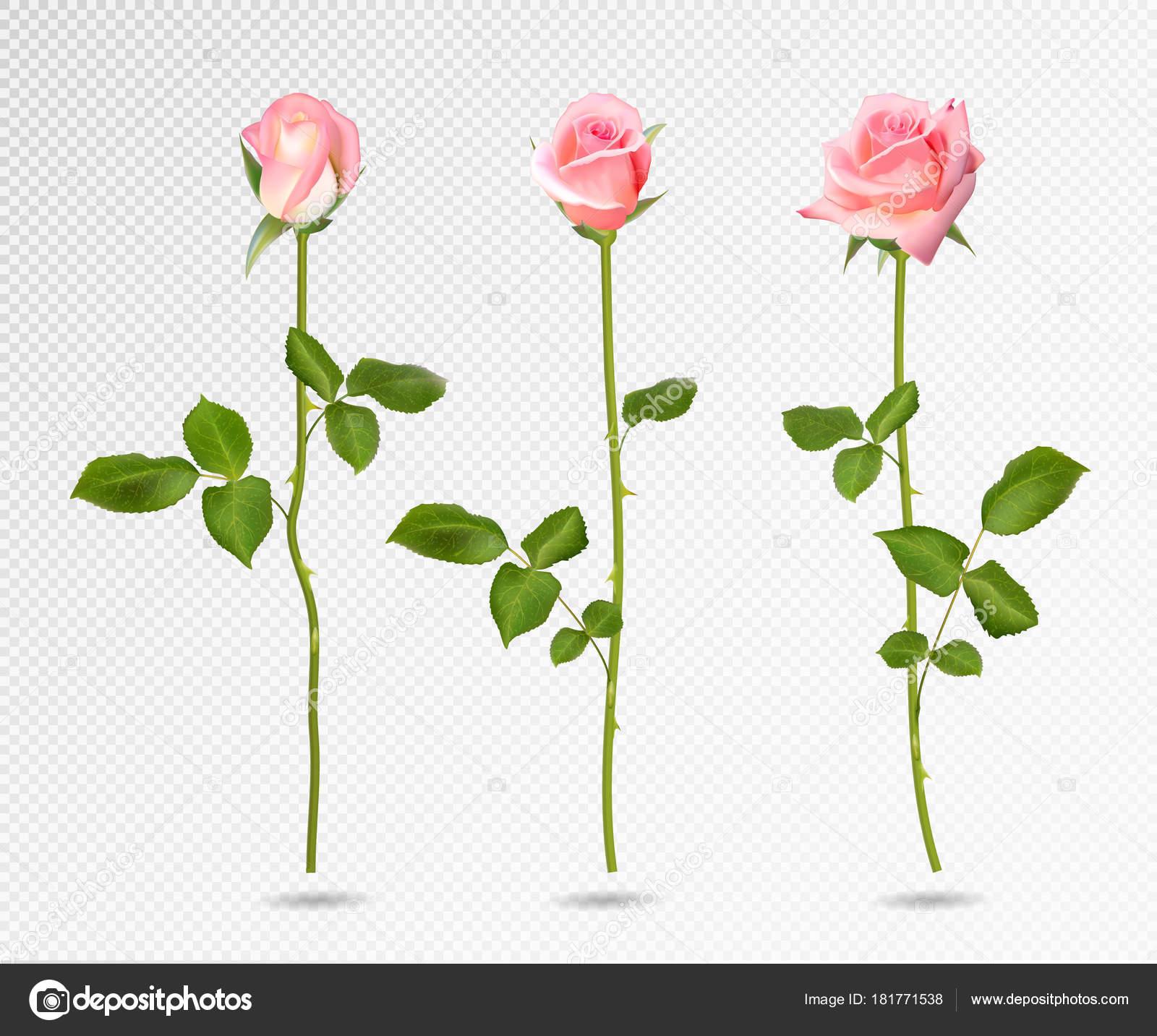 Букет роз в векторе на прозрачном фоне, интернет магазин цветов аристократка