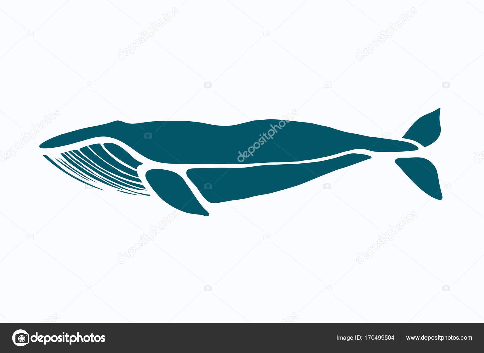 Blauwal. Balaenoptera Musculus. Wal, isoliert auf einem hellen ...
