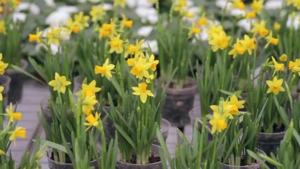 Narcis, pěstování ve skleníku