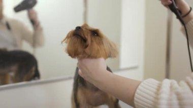 Donna asciuga i capelli di cane con asciuga capelli dopo il bagno video stock rasulovs - Bagno cane dopo antipulci ...