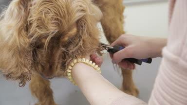 tondeuse peignes fourrure d yorkshire terrier en salon vid o photo oles 189770326. Black Bedroom Furniture Sets. Home Design Ideas