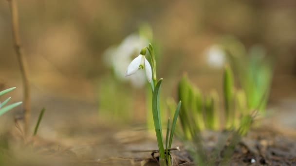 Elegant snowdrops moves from wind