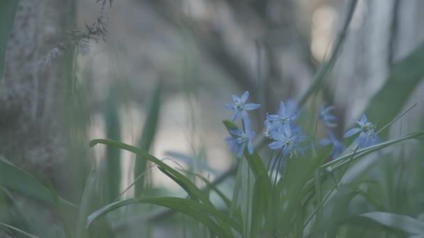 Malé modré květy rostou v zelené trávě. Krásný květ za slunečného jara nebo letního dne. Příroda, ekologie, krása.