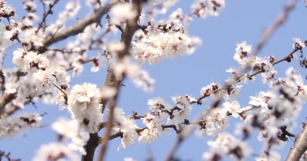Egy közeli kép a fa virágzásáról, ahol méhek röpködnek. Gyönyörű fehér virágok nőnek ágak kék tavaszi vagy nyári ég a háttérben. Természet, évszak. Cinema 4k ProRes főhadiszállás.
