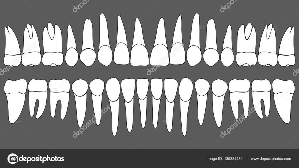 conjunto de plantillas dentales dientes humanos — Archivo Imágenes ...