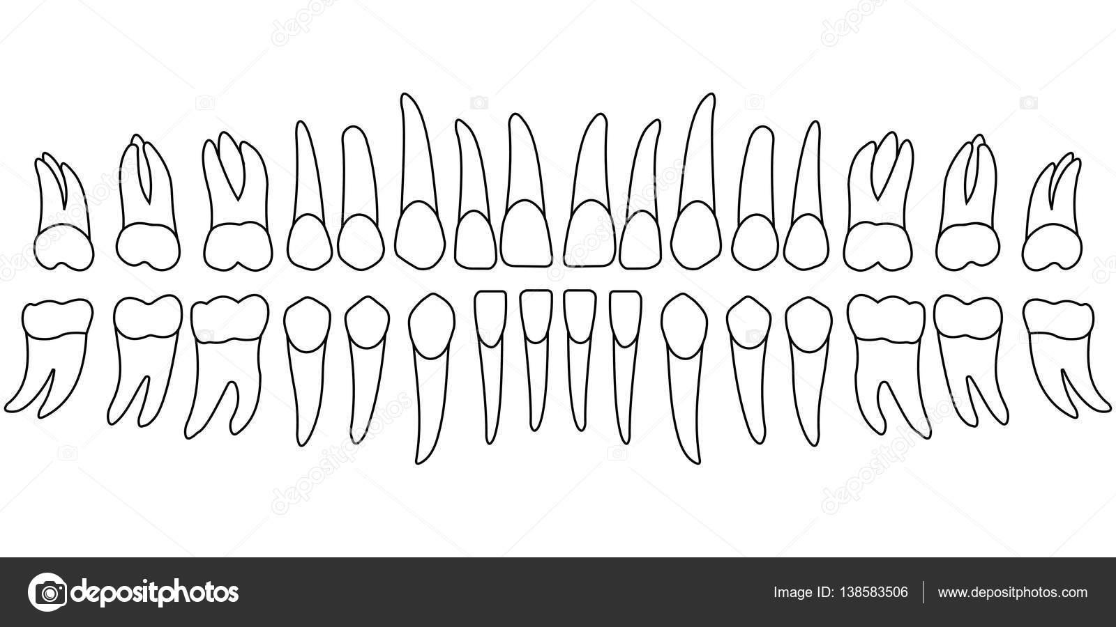 Tooth chart teeth Vector koksikoks 138583506 – Teeth Chart Template