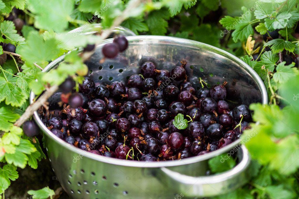 Black Gooseberries freshly picked from the bush.