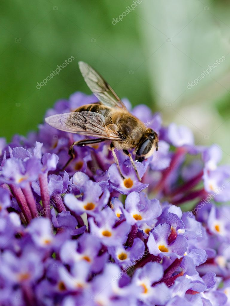 Close up of Hoverfly feeding on Buddleia flower.