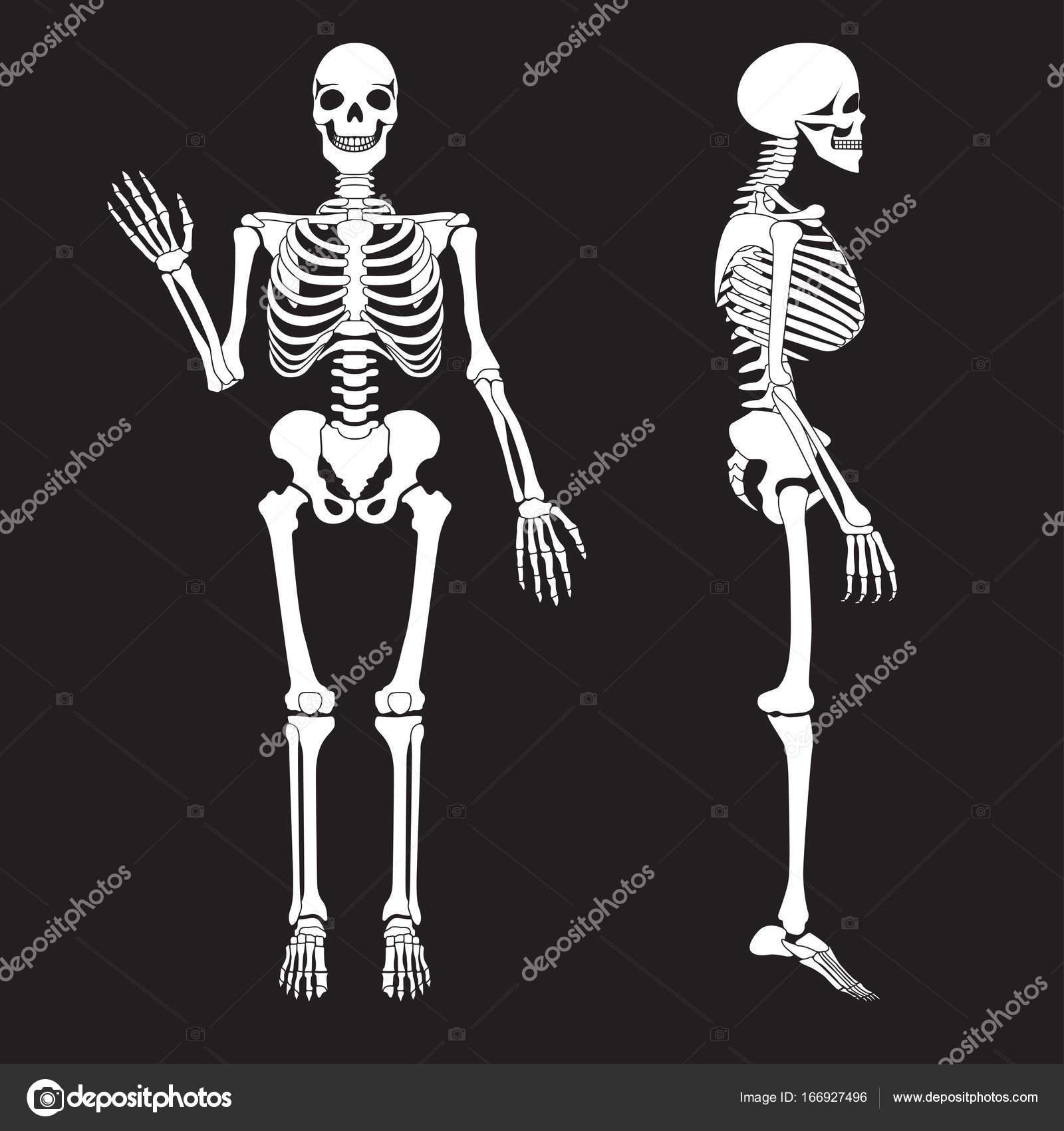 Vector de silueta de esqueleto de huesos humanos. Anatomía del ...