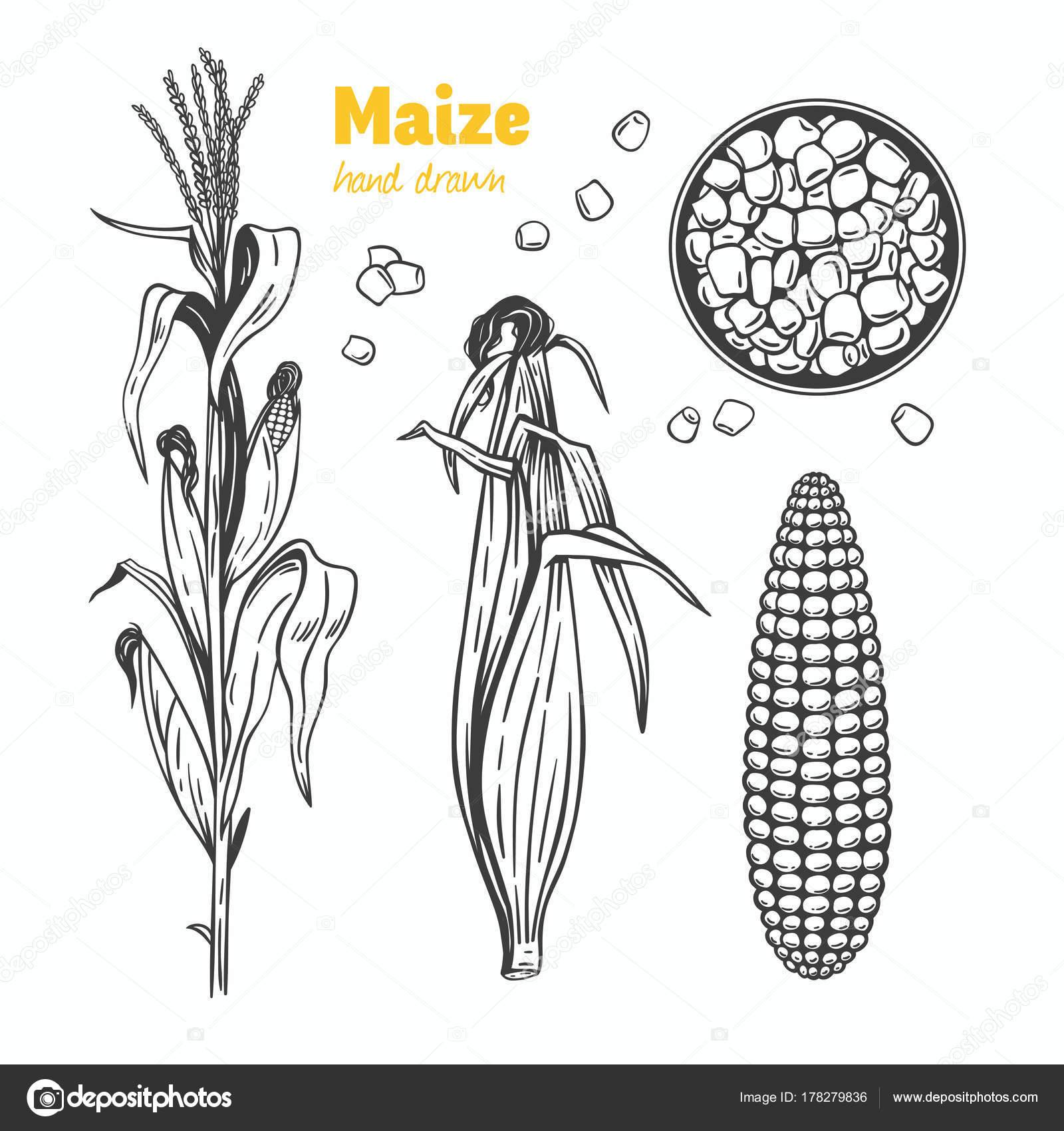 Imágenes: hojas de maiz para dibujar | Ilustración de