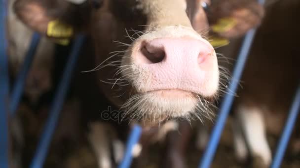 Moderner Stall mit melkenden Kühen, die Heu fressen