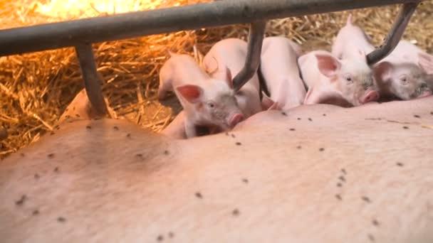 Sertések állattartó gazdaságban. Disznók(sertések) tenyésztése