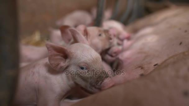 Schweine auf Tierhaltungsbetrieb. Schweinehaltung