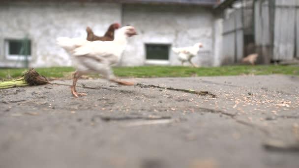 Szabad sor csirke: Egy tyúk száguld ingyenes, egy kis vidéki gazdaság.