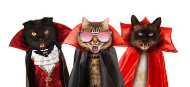 Funny cats are celebrating a halloween and wearing a suit of vampire Three cats with open mouths.