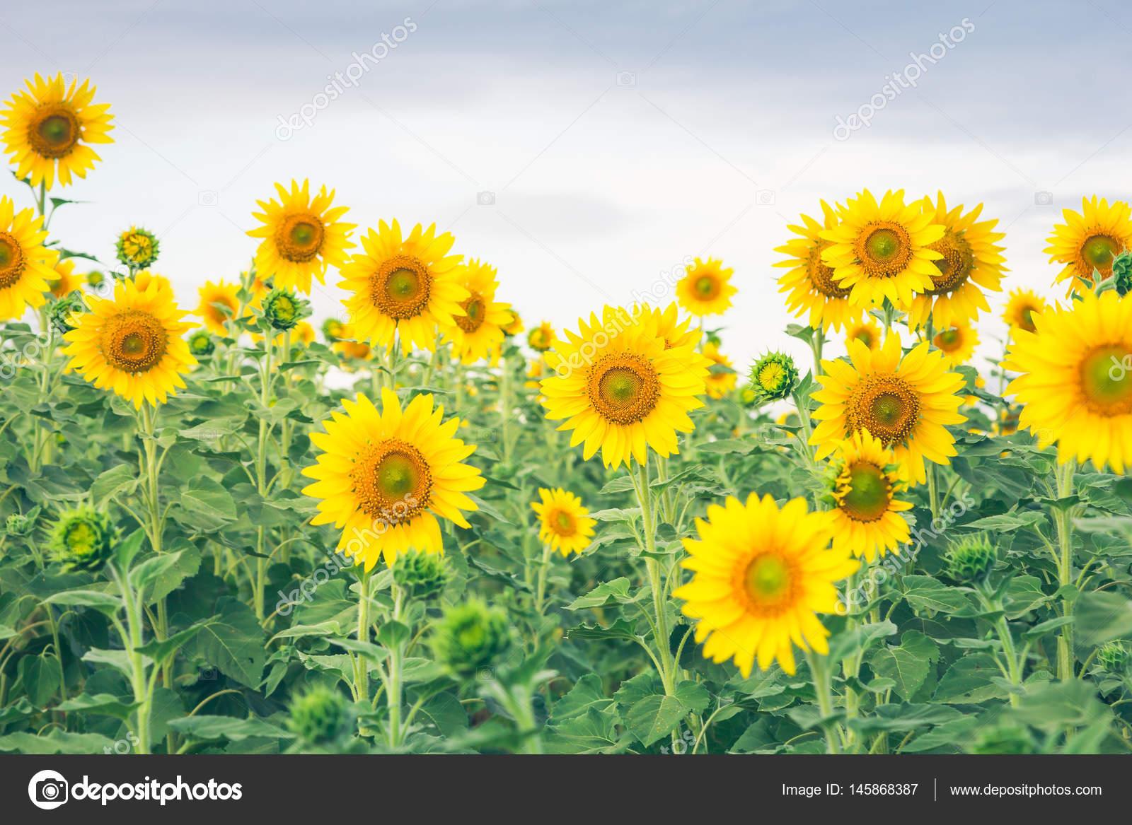 bellissimo paesaggio con campo di girasole — Foto Stock © aona2303 ...