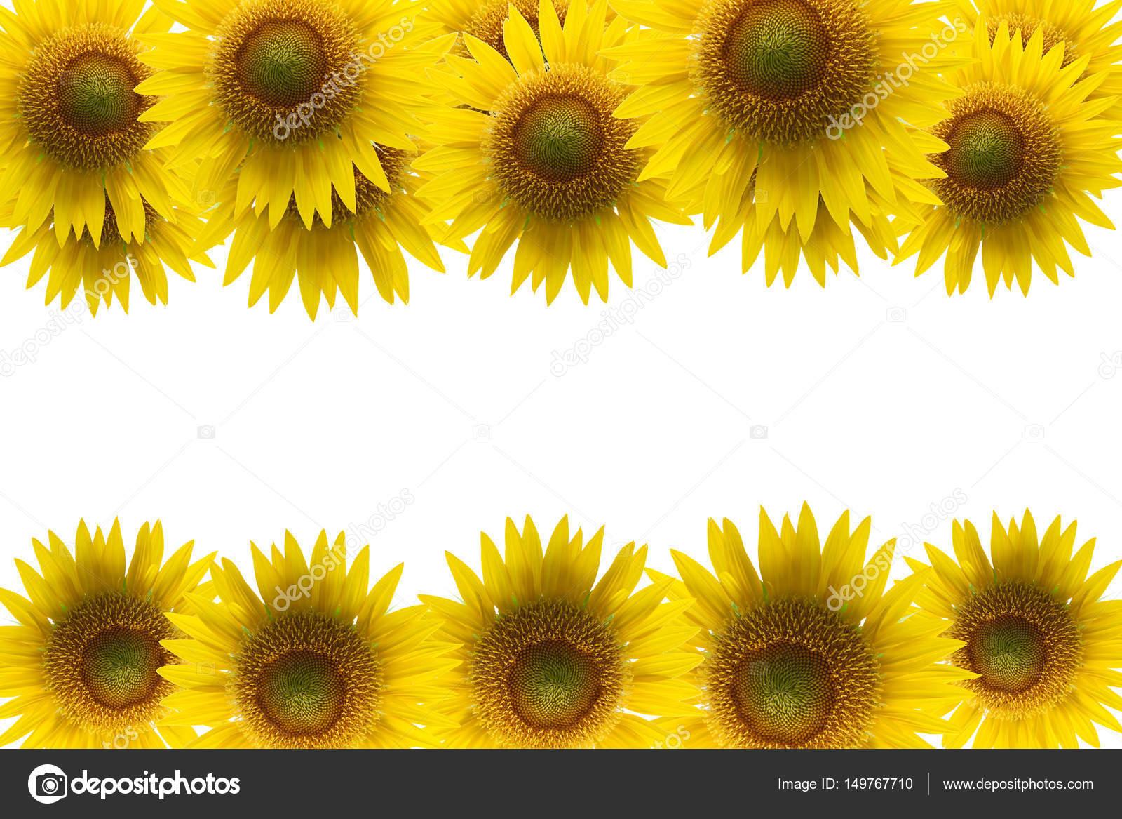 Sunflower frame isolated on white background. — Stock Photo ...