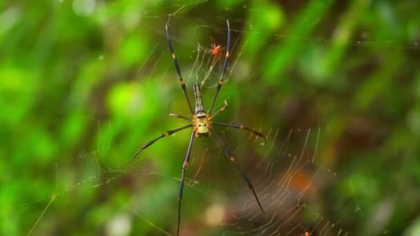 Arany gömb takács pók az esőerdőben