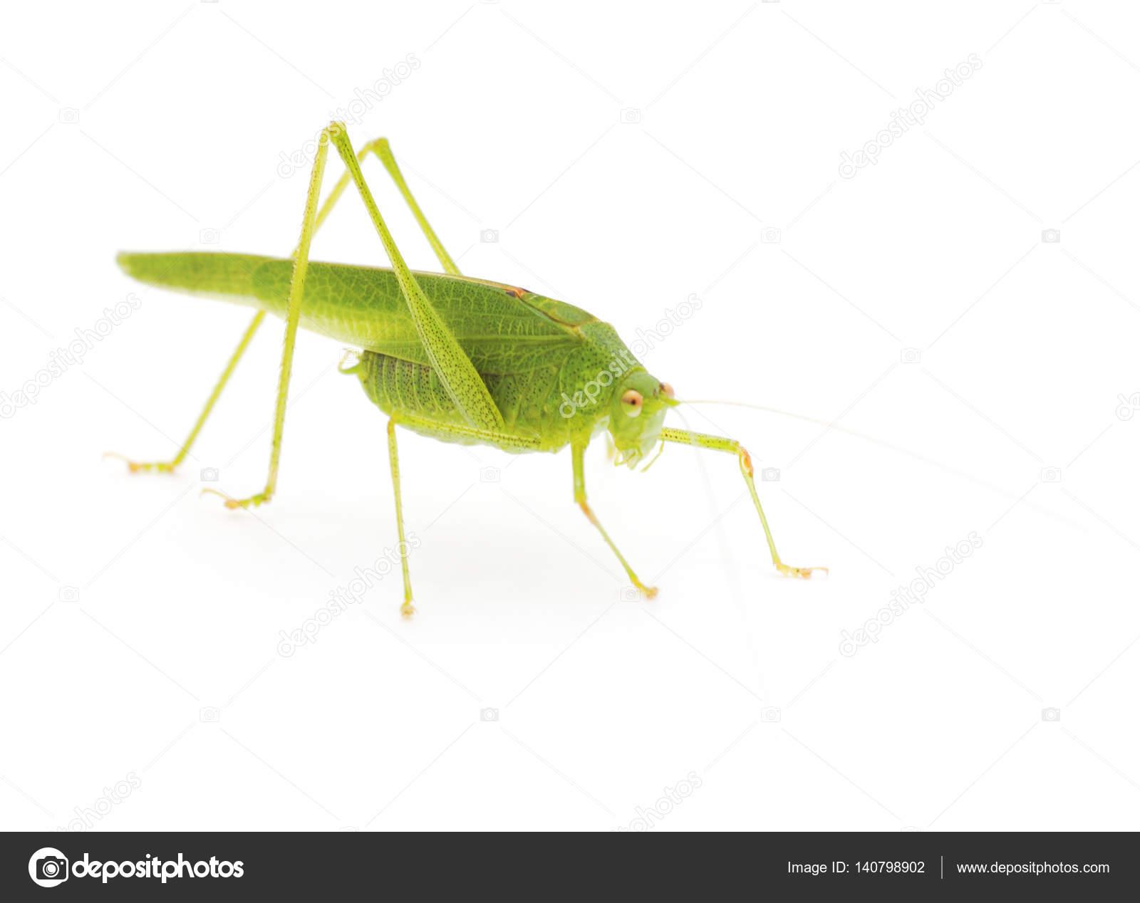 Grillo Verde Aislado — Foto De Stock