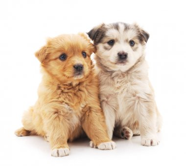 Two puppies isolated.
