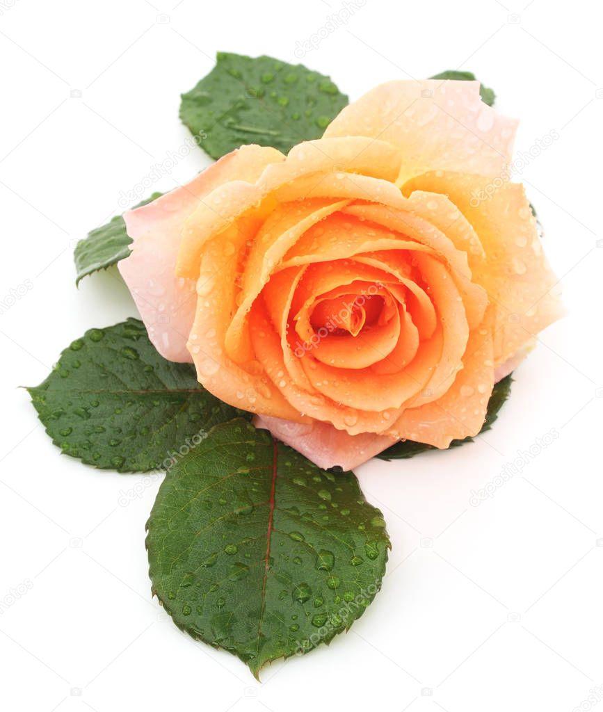 Orange rose isolated.