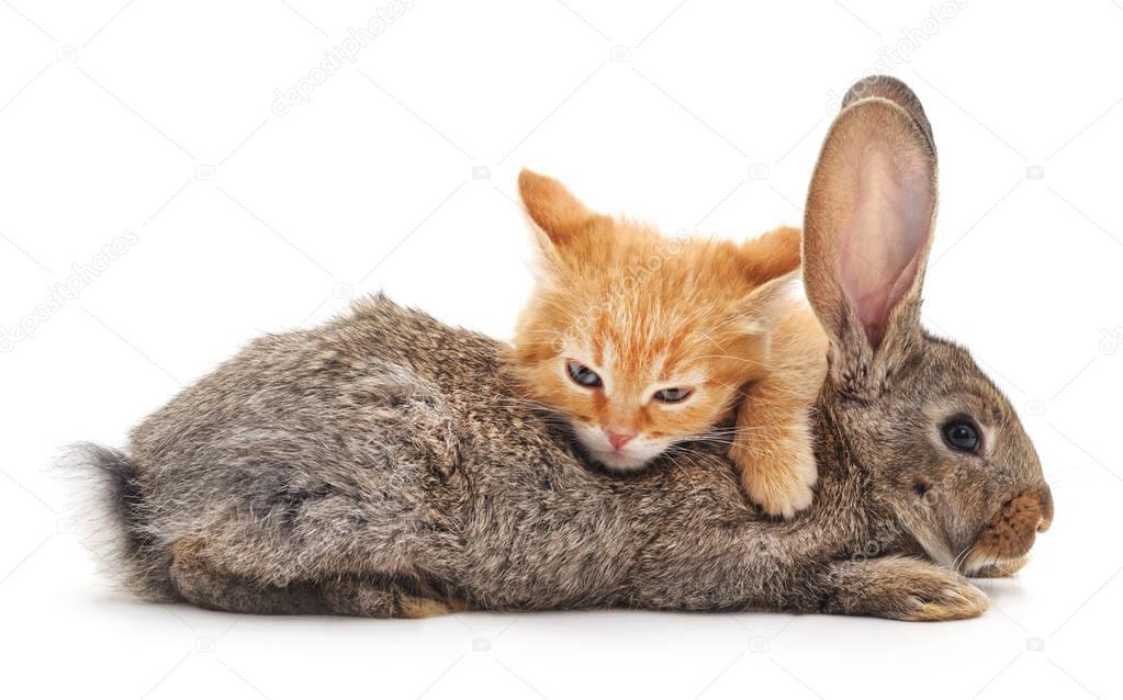 Kitten and  rabbit.