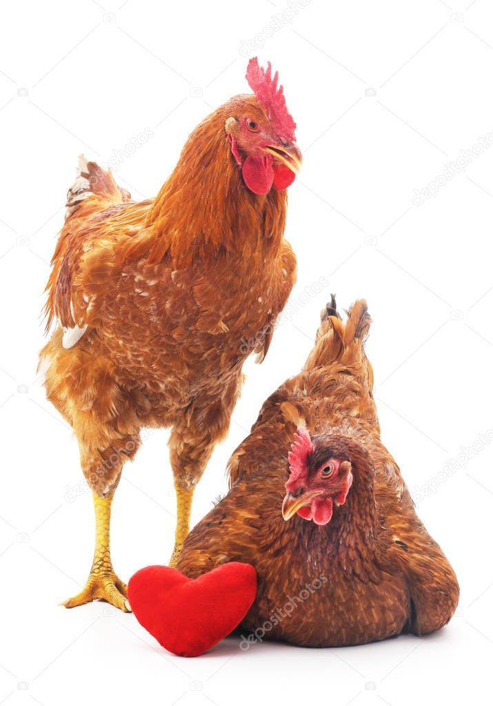 Chickens with toy heart.