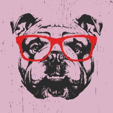 English Bulldog with glasses