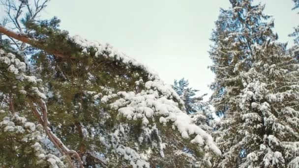 Pine and Spruce Covered With Snow