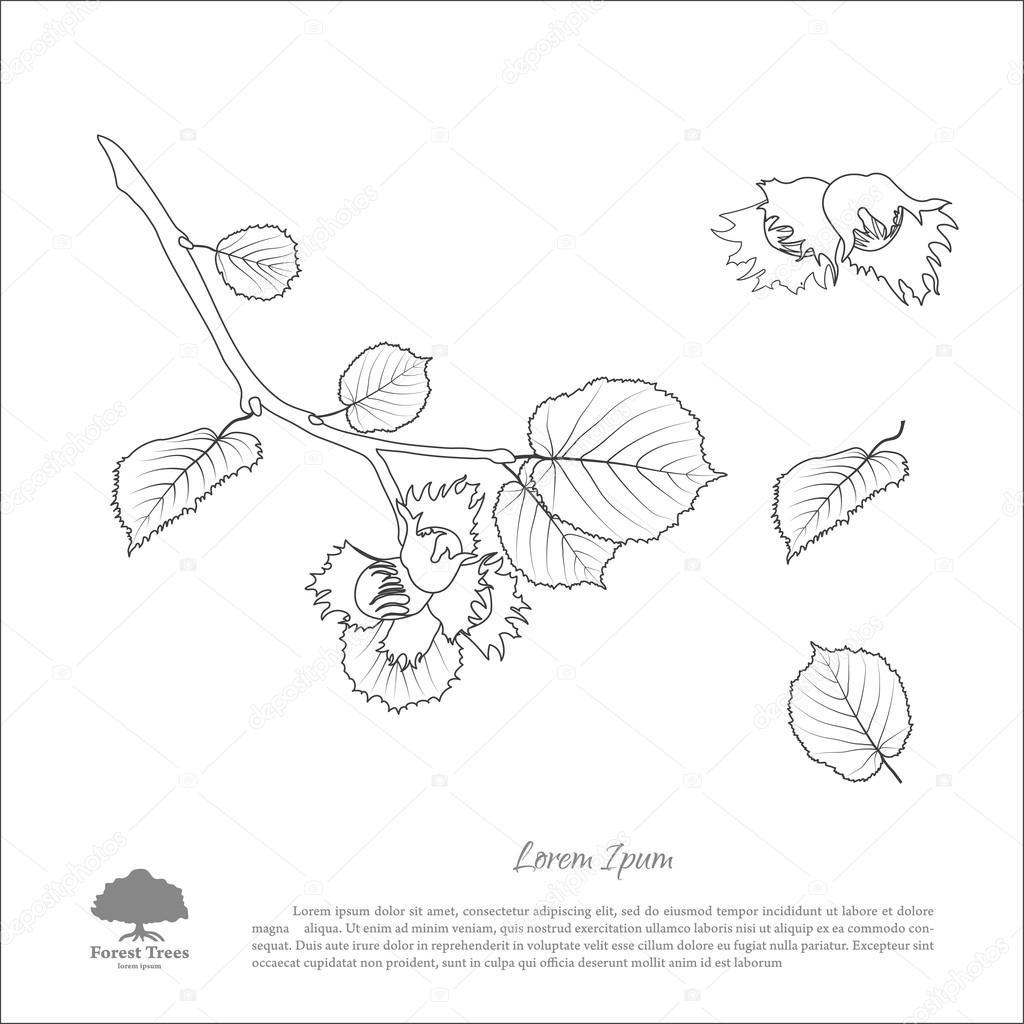 Branches de noisetier dessin contour feuille de noix et - Noisette dessin ...