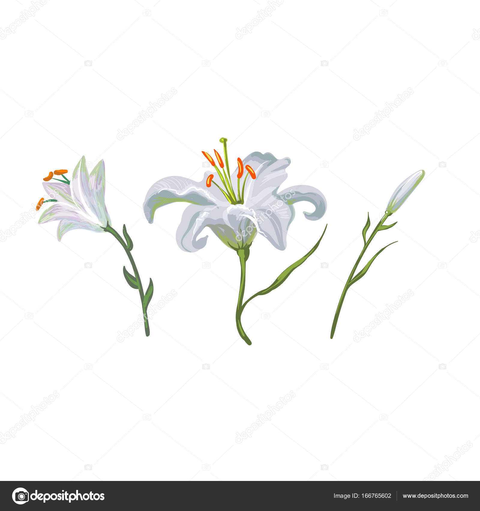 Illustration With White Lily Flowers In Different Stages Isolated On
