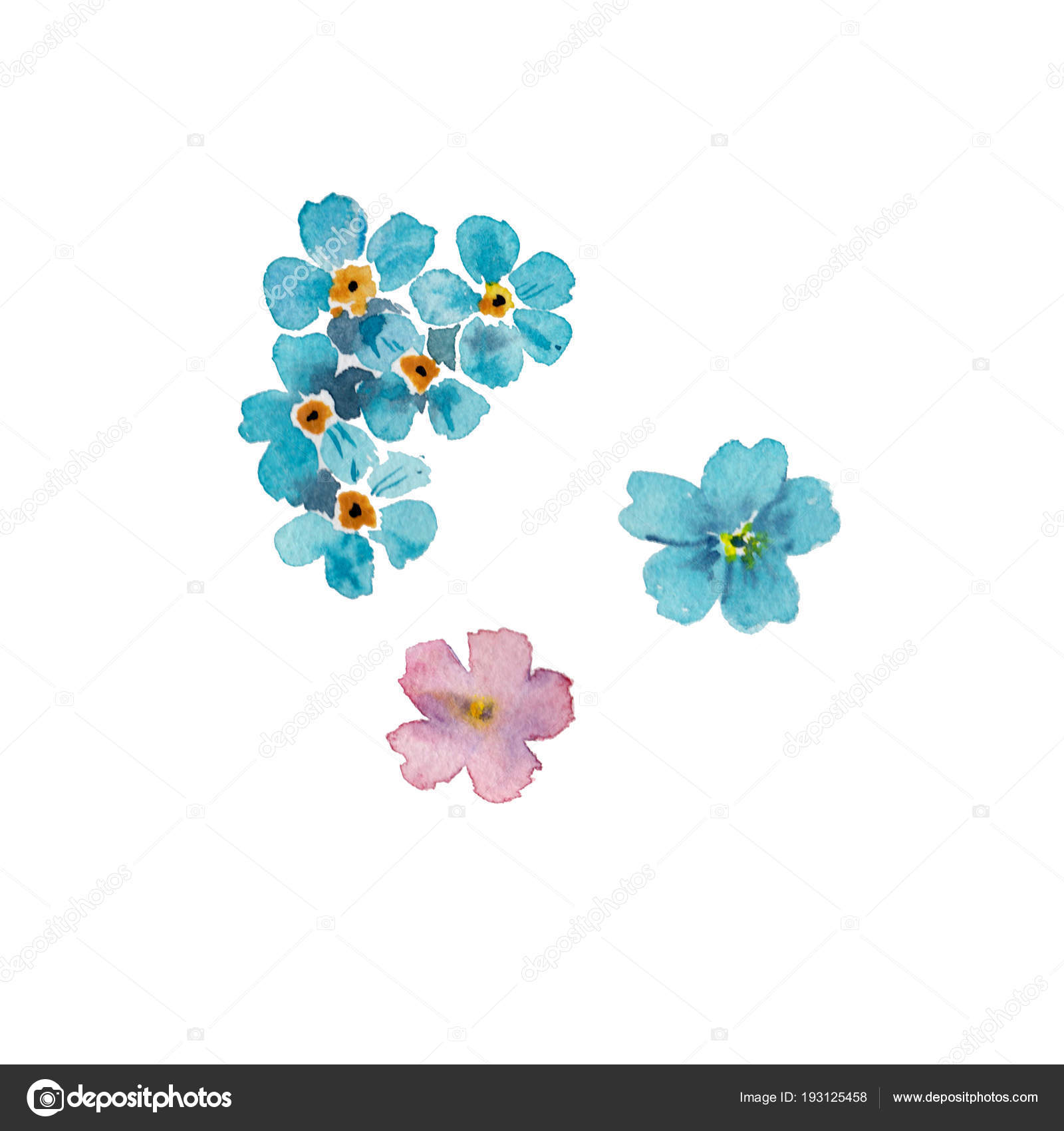Forget Me Not Flowers Isolated On White Background Watercolor Hand