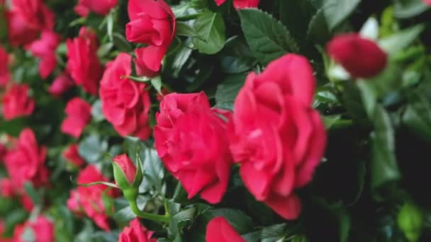 red roses closeup walking background for valentine celebration