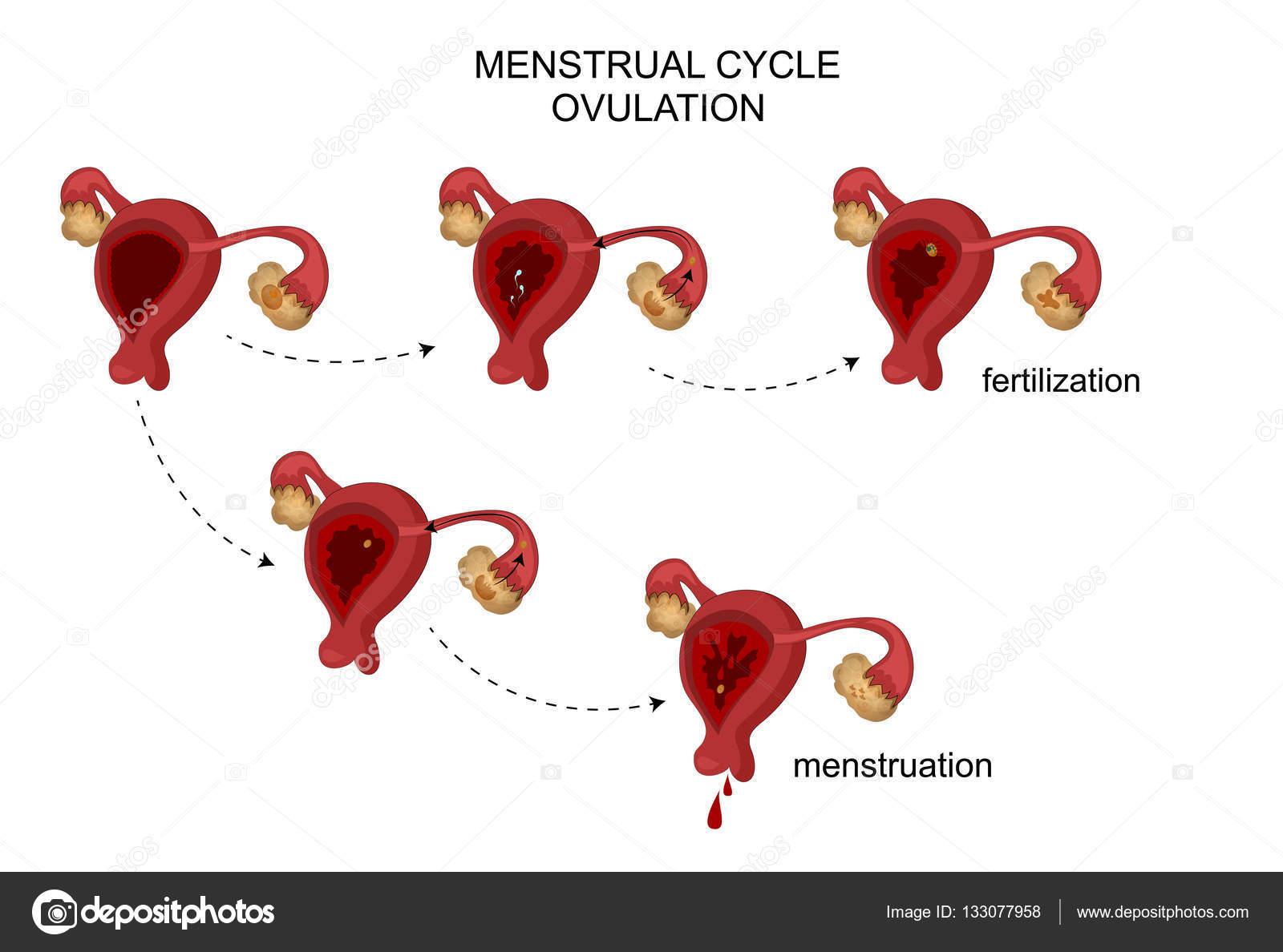 los órganos reproductores femeninos. Ciclo menstrual — Archivo ...