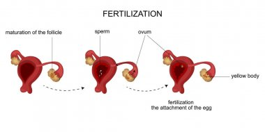 the female reproductive organs. Menstrual cycle.