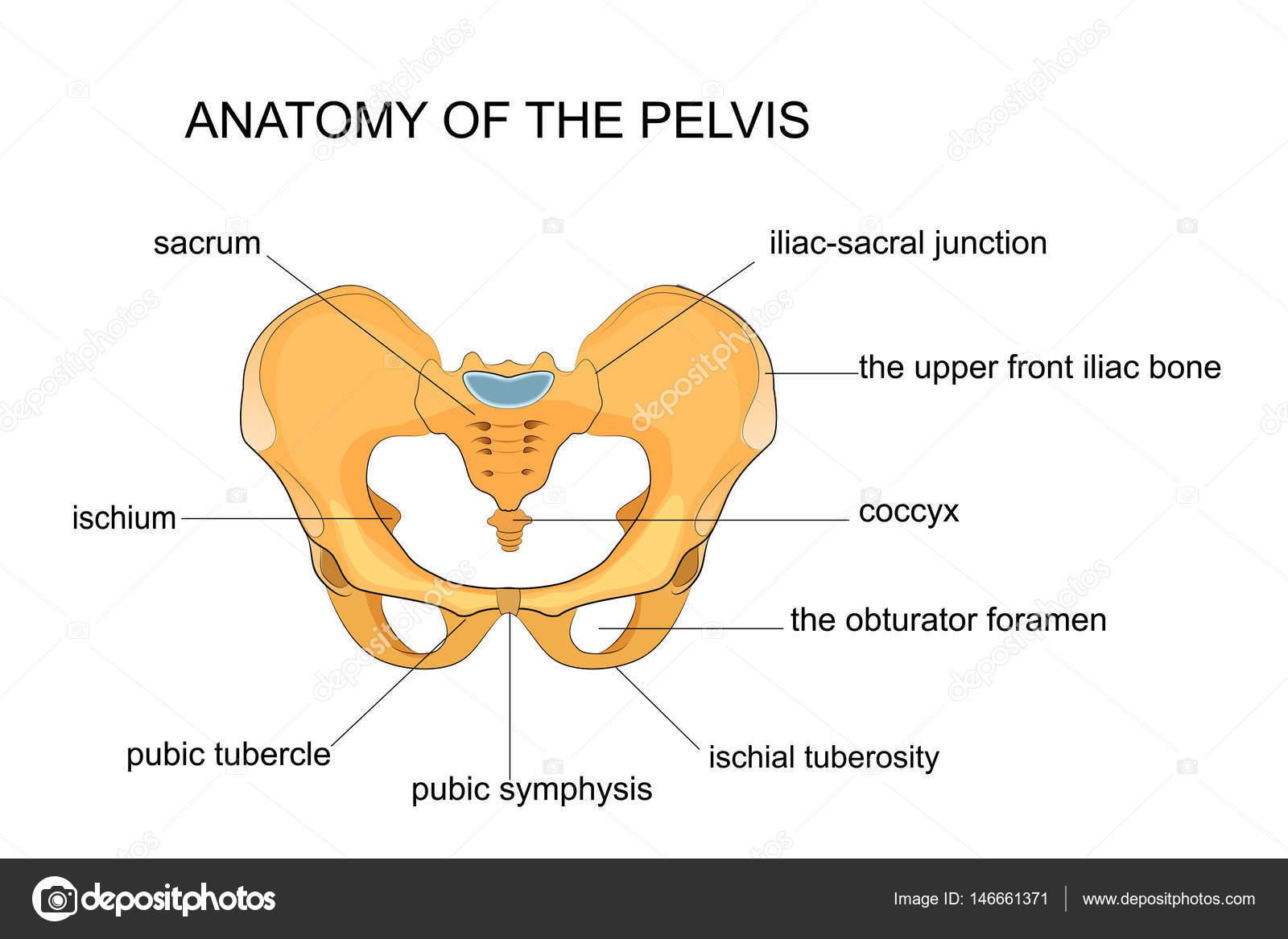 anatomie du pelvis — Image vectorielle Artemida-psy © #146661371